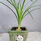 Jmbamboo - Guatemalan Red Ponytail Palm - Beaucarnea - With Panda Vase - Easy to
