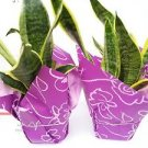 "Two Snake Plant Sansevieria 4"" Pot Wrapped-unique"