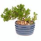 Two Japanese Juniper Bonsai Starter Tree - 4'' Blue Vase (FREE SHIPPING)