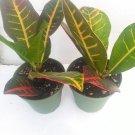 Two Croton Codiaeum Variegatum Petra 4'' pot (FREE SHIPPING)