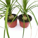 "Two Ponytail Palm - 4"" Pot - Beaucarnea - Great Indoors! (FREE SHIPPING)"