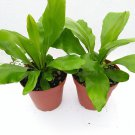 Two Bird's Nest Fern Only (FREE SHIPPING)