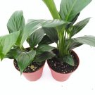 "Two Peace Lily Plant Spathyphyllium - Great House Plant - 4"" Pot Unique (FREE SHIPPING)"