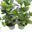 "Two Corsage Gardenia Plant - Gardenia Grandiflora - 4"" Pot (FREE SHIPPING)"