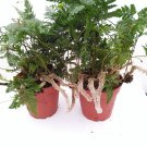 "Two White Rabbit's Foot Fern 4"" Pot - Davallia (FREE SHIPPING)"