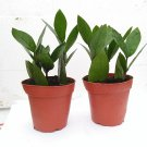 Two Zz Plant - Zamioculcas Zamiifolia - 4'' Pot Only (FREE SHIPPING)