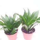 Two Janet Craig Dragon Tree - Dracaena Fragrans - 4 Pot (FREE SHIPPING)