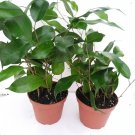"Two Midnight Weeping Fig Tree - Ficus - Great Indoor Tree for Low Light - 4"" Pot (FREE SHIPPING)"
