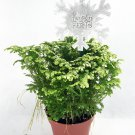 "Frosty Fern Spike Moss - Selaginella - Easy to Grow - 4"" Pot (FREE SHIPPING)"