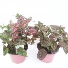 Two Fairy Garden Hypoestes Confetti, Red Polka Dot Plant Only