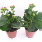 Two Rosebud Red Kalanchoe Calandivia 4 Inch Pot