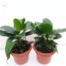 """Two Peace Lily Plant - Spathyphyllium - 4.5"""" Unique Design Pot"""