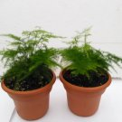 "Two Fern Leaf Plumosus Asparagus Fern 4.5"" Unique Design Pot - Easy to Grow - Great Houseplant"