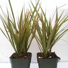 Two Strong Dracaena Marginata Colorama - Tri-color Dragon Tree Houseplant