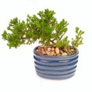 Two Japanese Juniper Bonsai Starter Tree - 4'' Blue Vase - Juniper