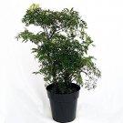 "Ming Aralia Pre-Bonsai Tree - Polyscias fruticosa - Indoor - 6"" Pot"