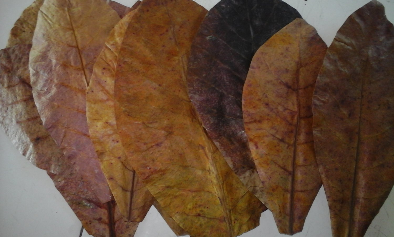 800g. Catappa Ketapang Indian Almond Leaves Grd A+ Free Choose Size