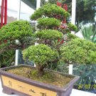 HOW TO GROW AND CARE FOR BONSAI