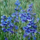 Penstemon virens Blue Mist Beardtongue Seeds Perennial