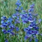 Penstemon virens Blue Mist Beardtongue Seeds Perennial