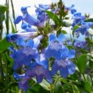 Penstemon cyananthus Wasatch Beardtongue Seeds Perennial