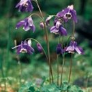 Aquilegia sibirica Siberian Purple Blue Columbine Seeds