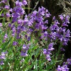 Penstemon venustus Lovely Venus Beardtongue Seeds