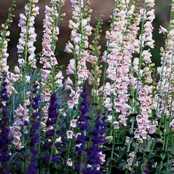 Penstemon palmeri Palmer Beardtongue Seeds