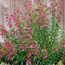 Penstemon mexicali Red Rocks Beardtongue Seeds