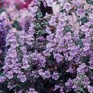 Penstemon smallii Violet Dusk Beardtongue Seeds
