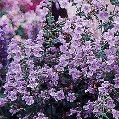 Penstemon smallii Violet Dusk Beardtongue Seeds
