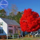 BELLFARM Autumn Blaze Red Maple Tree, 20 Seeds, clearly superior tree seeds