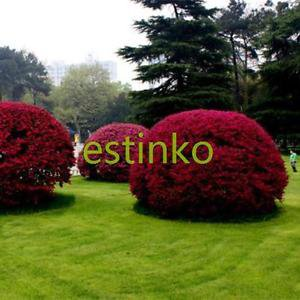 Loropetalum Chinense Tree Seeds 50 pcs/lot Beautiful Ornament Flower Bonsai