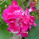 10 Double Morning Glory Flower Seeds Ornamental Rare Variety Ipomoea