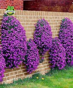 Flower seeds 100 Aubrieta Seeds - Cascade Purple FLOWER SEEDS, Superb perennial