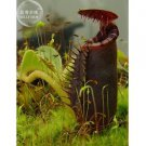 Nepenthes Bongso Seeds, professional pack, 2 Seeds, bonsai black nepenthes