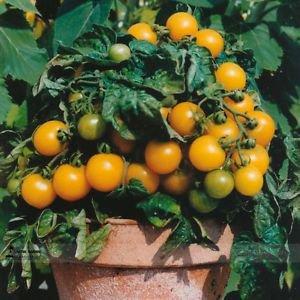 UK Organic Bright Yellow Round Cherry Tomato Seeds