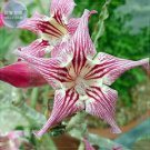 Adenium Desert Rose, 2 Seeds, Professional Pack, tiger colorful single petals