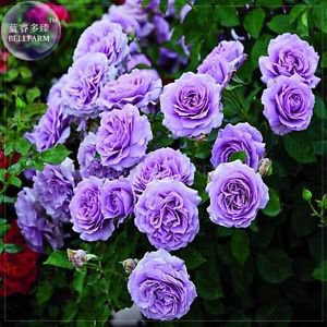 Purple Big Blooms Climbing Rose Seeds, Professional Pack, 50 seeds,