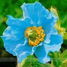 Rare Blue Himalayan Poppy Seeds, Professional Pack, 100 Seeds / Pack