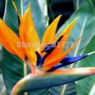 2 Seeds Home Garden Plant Strelitzia Reginae Reginaei Bird Of Paradise
