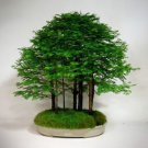 Rare Dawn Redwood Forest Bonsai Seeds, Professional Pack, 50 Seeds / Pack