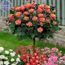 Orange Golden Double Rose Tree, 50 Seeds, Professional Pack,compact big flowers