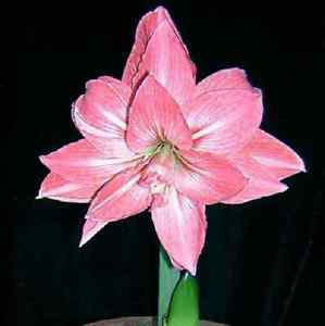 Pink Potted Flowers Rare Amaryllis Bulbs,Hippeastrum Bulbs