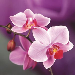 200 Pieces Pink Phalaenopsis Seeds Potted Indoor Flowers Bonsai Four Seasons