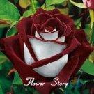 20 Abracadabra Rose seeds,rare color ,Osiria Rose gorgeous flower seeds