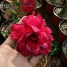 'Black Peacock' Adenium Desert Rose, 2 Seeds, deep red double petals