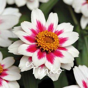 Zinnia Marylandica Seeds 30pcs/lot 'Zahara Starlight Rose' Seeds