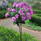 Purple Big Blooms Rose Tree Seeds, Professional Pack, 50 Seeds, double petals