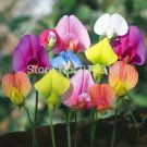 Flower Bonsai seeds 30pcs Sweet Pea Lathyrus Lord Anson's Bitter Vetch